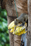 Brown squirel tasting bananas hung down. From the tree Royalty Free Stock Photo
