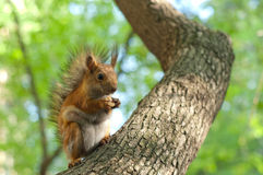 Brown squirrel Royalty Free Stock Images