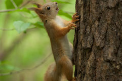 Brown squirrel Stock Photography