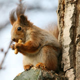 Brown squirrel. Closeup of brown squirrel eating cookie on a tree royalty free stock photography
