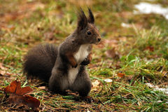 Brown squirrel. Standing brown squirrel looking right Royalty Free Stock Photos