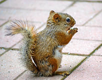 Brown Squirrel. Wild brown squirrel feeding on white bread Royalty Free Stock Photos