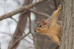 Brown Squirrel Royalty Free Stock Photos