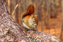 Brown Squirrel Stock Image