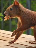 Brown Squirrel Royalty Free Stock Image