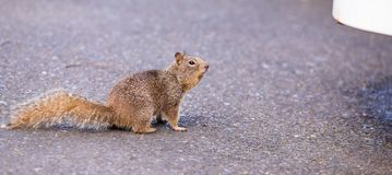 Brown squirrel sitting on the road. Brown squirrel on the asphalt stock photography