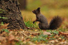 Brown squirrel in autumn. Brown squirrel standing next to the tree in autumn Royalty Free Stock Images
