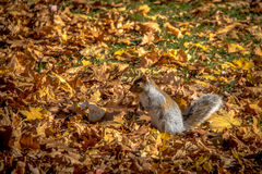Brown Squirrel between the autumn leaves of Queens Park - Toronto, Ontario, Canada Stock Photo