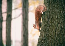Brown Squirrel on Black Tree Stock Photos
