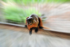 Brown Squirrel blur Stock Image