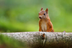 Brown squirrel by branch Stock Photography
