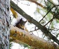 Brown squirrel on a branch of pine Royalty Free Stock Photo