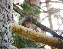 Brown squirrel on a branch of pine Royalty Free Stock Image