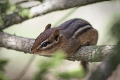 Brown Squirrel on Branch of Tree Royalty Free Stock Images