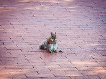 Brown Squirrel on Brick Walkway Stock Image