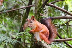 Brown Squirrel on Brown and Green Tree Royalty Free Stock Images