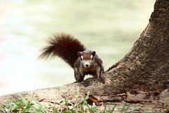 Brown Squirrel. On the tree royalty free stock image