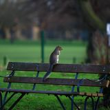 Brown Squirrel on Brown Wooden Bench Royalty Free Stock Photography