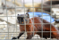 Brown Squirrel in cage Stock Images