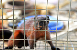 Brown Squirrel in cage Royalty Free Stock Photography