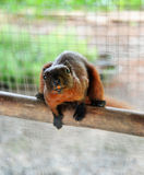 Brown Squirrel in cage Royalty Free Stock Images