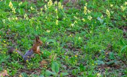 Brown squirrel changes fur from winter to summer. And sits on the green spring grass stock photography