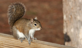 Brown Squirrel in Classic Squirrel Pose. Classic image of a brown squirrel standing on a post, bushy tail curled behind it. Image has plenty of open space for stock images