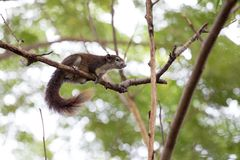 Brown squirrel climb the tree. Brown squirrel have feather tail climb the tree Stock Images