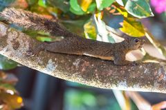 Brown squirrel. Climbing on a branch in Costa Rica royalty free stock photo
