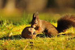 Brown squirrel with coconut royalty free stock photos