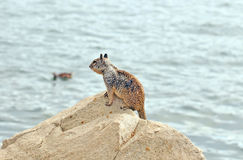Brown Squirrel. This is a common brown squirrel sitting on a rock beside Big Bear Lake on a summer's afternoon. There is a duck floating on the water in the stock image