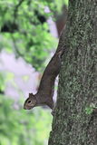 Brown squirrel Stock Photos