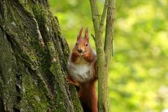 Brown squirrel eat and sits on the tree stock photos