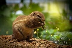 Brown Squirrel Eating Green Plant Stock Photos