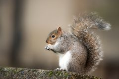 Brown squirrel eating nut closeup fluffy zoom sunny day green grass. Fluffy brown squirrel eating a nut on stone monkey nut cute sharp focus depth of field royalty free stock photos