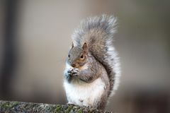 Brown squirrel eating nut closeup fluffy zoom sunny day green grass stock photos