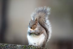 Brown squirrel eating nut closeup fluffy zoom urban background big city. Fluffy brown squirrel eating a nut on urban background big city stone slabmonkey nut royalty free stock image