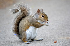 Brown squirrel eating nuts Stock Images