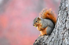 Brown Squirrel Eating Nuts stock photography