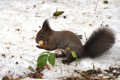 Brown squirrel eating peanut. In winter, standing on a snow Royalty Free Stock Photos