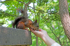Brown squirrel is eating seeds Royalty Free Stock Photography