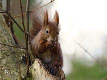 Brown squirrel eating Royalty Free Stock Image