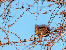 A brown squirrel eating on a tree in winter. Blue sky stock photography
