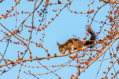 A brown squirrel eating on a tree in winter. Blue sky stock photo