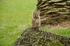 Brown squirrel 2. European brown squirrel in forest eats a nut Royalty Free Stock Photography