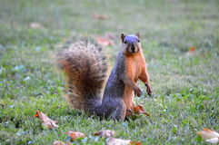 Brown Squirrel in Fall royalty free stock images