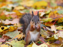Brown squirrel in the forest Royalty Free Stock Image