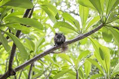 The brown squirrel is on the frangipani tree. It was looking forward.  stock photography