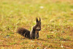 Brown squirrel on the grass. Standing brown squirrel on the grass with shine colors Royalty Free Stock Images