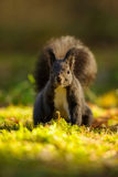 Brown squirrel on the grass from front stock photography